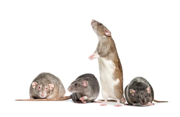 Quattro ratti in un crudo, isolato