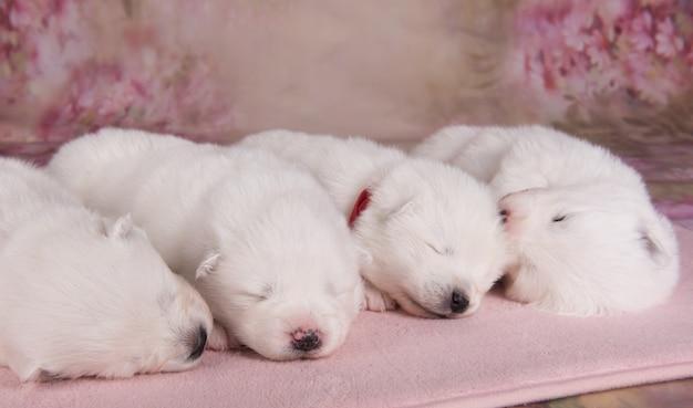 Quattro piccoli cuccioli di samoiedo bianco di due settimane di età