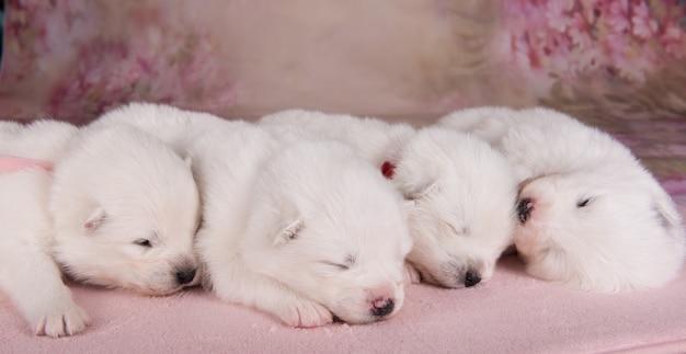 Quattro piccoli cuccioli di samoiedo bianchi di due settimane di età