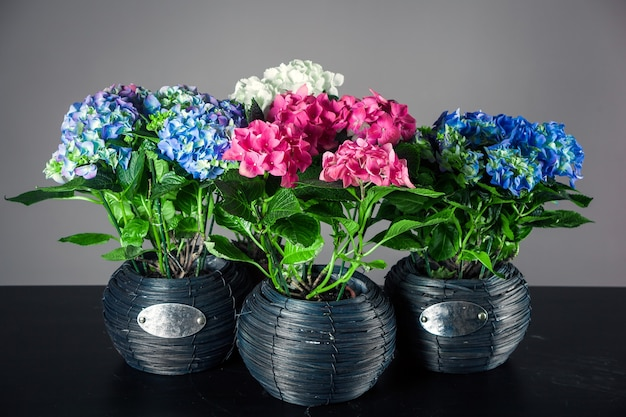 Quattro vasi con ortensie di diversi colori su fondo nero