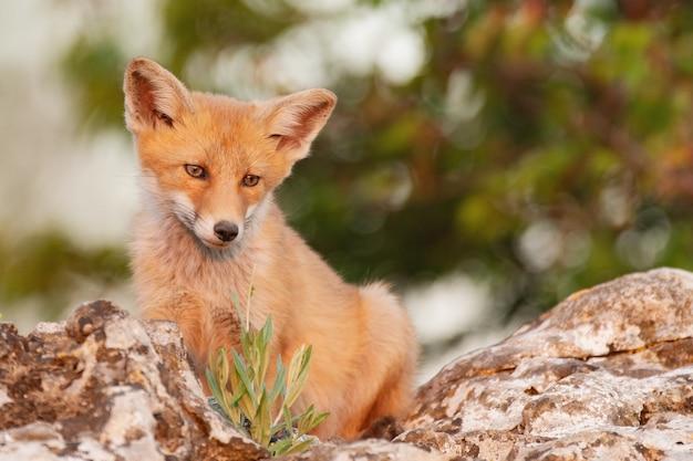 Una volpe si siede su una roccia. vulpes vulpes.