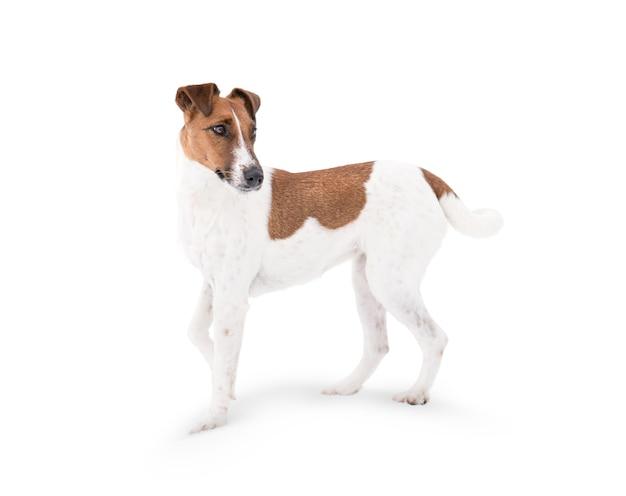 Un cane fox terrier è isolato su uno sfondo bianco.