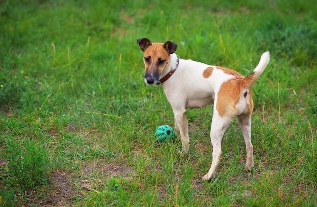 Fox terrier cane con una palla sulla radura verde