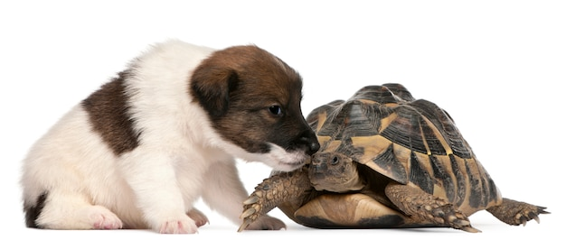 Cucciolo di fox terrier, 1 mese di età, e tartaruga di hermann, testudo hermanni