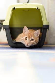 Foxy gatto dai capelli rossi all'interno della scatola di plastica
