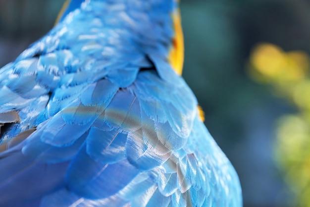 Frammento di un'ala di uccello pappagallo con piume blu, da vicino