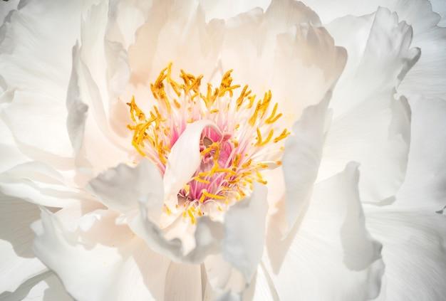 Fragranti fiori di peonia albero bianco in piena fioritura.