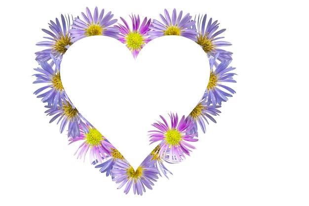 Cornice a forma di cuore di fiori di aster alpino su sfondo bianco. san valentino.