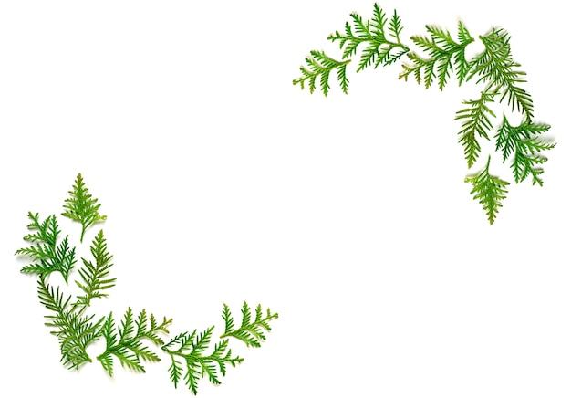 Cornice di ramoscelli di thuja isolato su uno sfondo bianco.