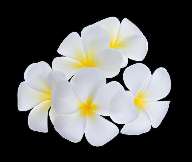 Fiore di frangipane isolato su sfondo nero