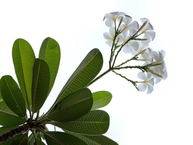Fiore di frangipane isolato su sfondo bianco