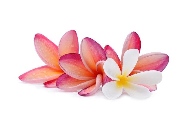 Fiore di frangipane con gocce d'acqua su bianco