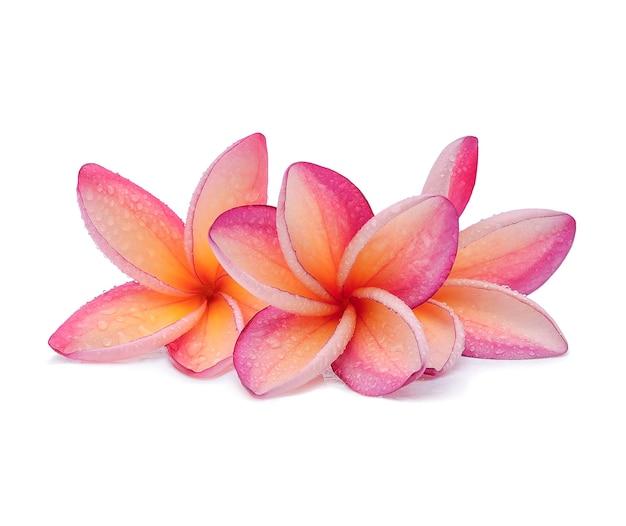 Fiore di frangipane con gocce d'acqua