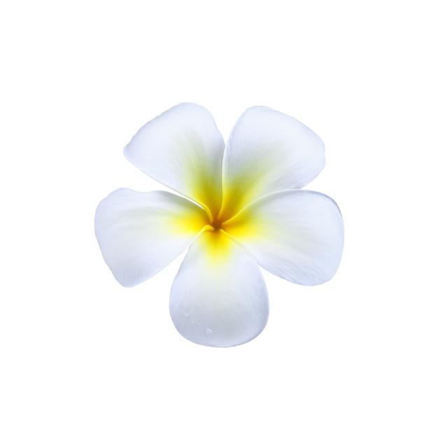 Fiore del frangipane (plumeria) con una goccia d'acqua isolata su bianco
