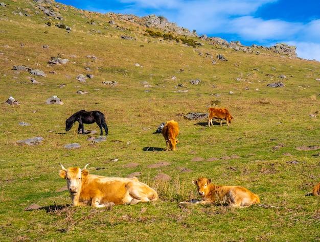 Mucche libere che riposano nell'erba sopra in cima al monte adarra a guipuzcoa. paese basco
