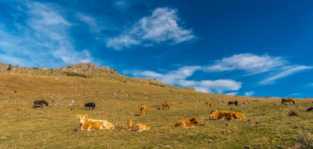 Mucche libere in cima al monte adarra a guipuzcoa. paese basco