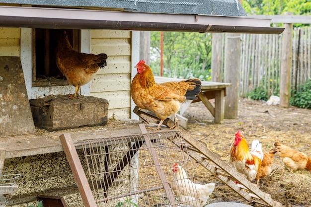 Pollo ruspante in fattoria di animali biologici che pascolano liberamente in cortile su sfondo ranch. i polli gallina pascolano in una fattoria ecologica naturale. bestiame moderno e agricoltura ecologica. concetto di diritti degli animali.