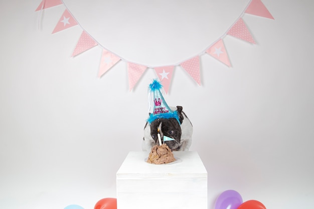 Bulldog francese che celebra il suo primo compleanno con una torta su bianco