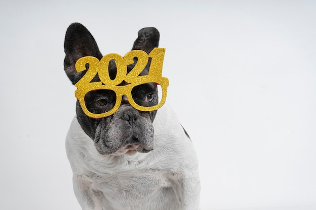 Cane bulldog francese che celebra il nuovo anno 2021 con occhiali di testo.