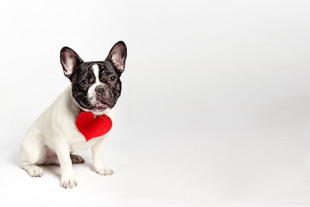 Cane del bulldog francese divertente nell'amore il giorno di biglietti di s. valentino con cuore di carta rosso. sfondo bianco.