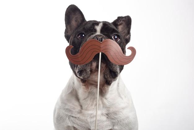 Cane del bulldog francese con i baffi falsi di carta isolati