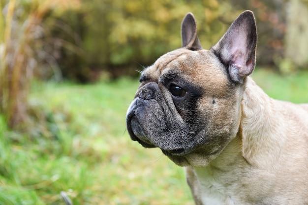 Cane bulldog francese in cortile su sfondo autunnale