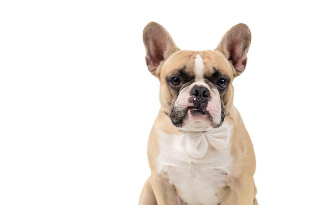 Il bulldog francese si sente arrabbiato e guarda la telecamera isolata su backgrond bianco