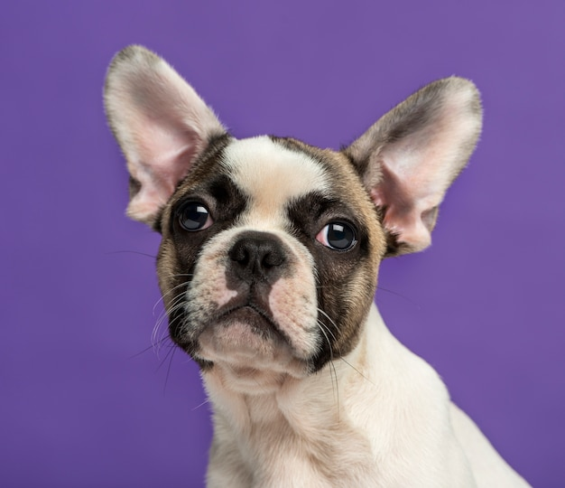Bulldog francese davanti a un muro viola