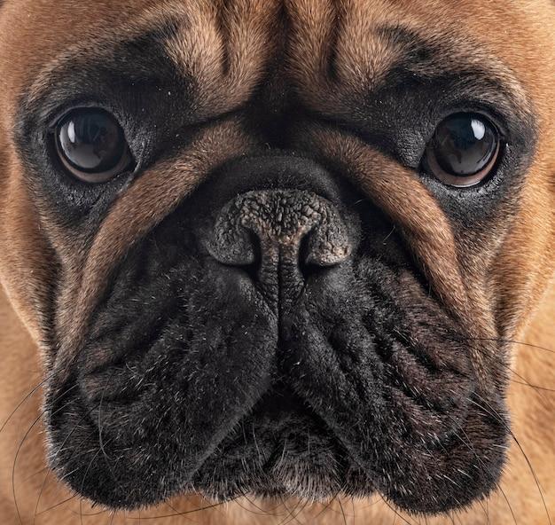 Bulldog francese davanti a sfondo bianco