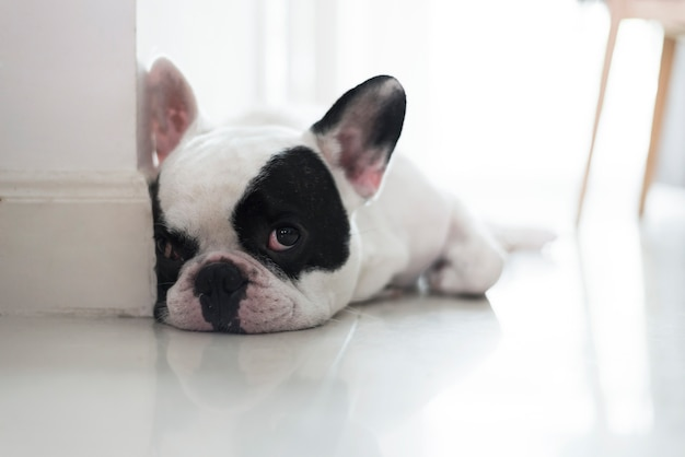 Il bulldog francese giaceva sul pavimento e osservava