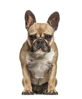 Bulldog francese guardando la telecamera, isolata su bianco