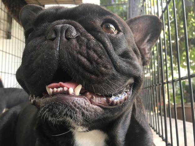 Bulldog francese che si trova nella gabbia d'acciaio, cane nero sveglio.