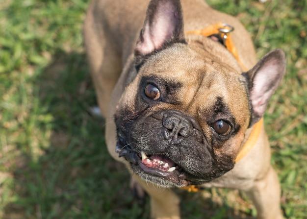 Bulldog francese all'aperto in una soleggiata giornata estiva. cane che gioca all'aperto nel parco