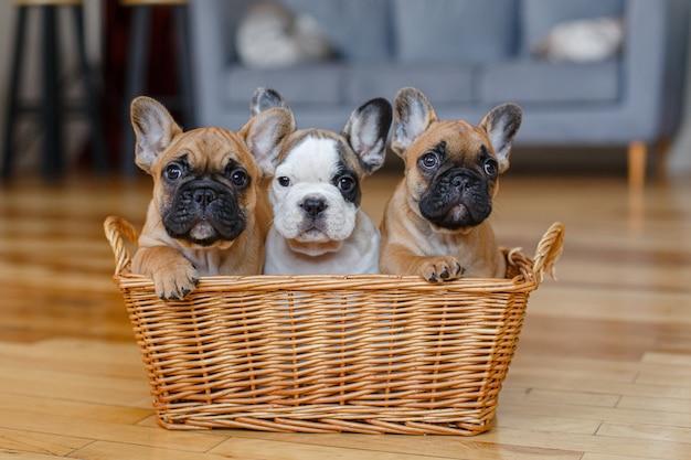 Cuccioli di bulldog francese che si siedono in un cestino