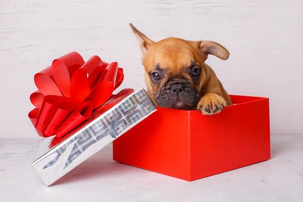 Cucciolo di bulldog francese in una scatola