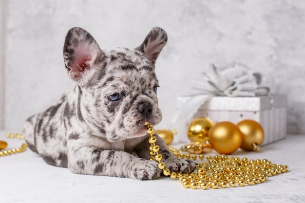 Cucciolo di bulldog francese in decorazioni natalizie