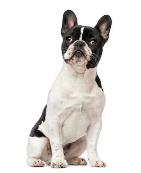 Cucciolo di bulldog francese isolato su bianco