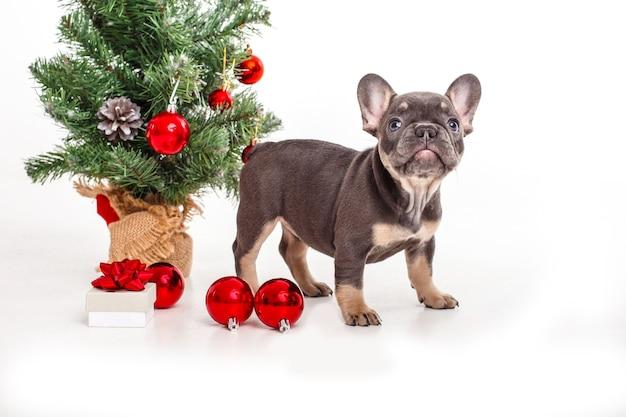 Cucciolo di bulldog francese vicino all'albero di natale su bianco