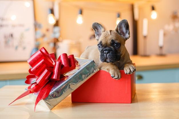 Cucciolo di bulldog francese seduto in una scatola, regalo di capodanno