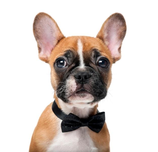 Cucciolo di bulldog francese che indossa un farfallino davanti a un bianco