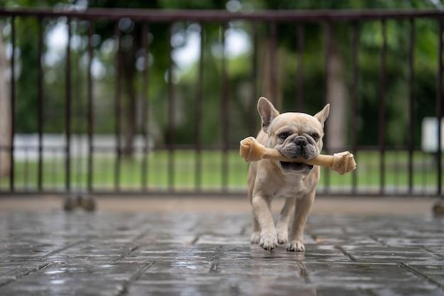 Bulldog francese in esecuzione con osso di pelle grezza in bocca.
