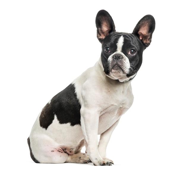 Bulldog francese seduto su sfondo bianco