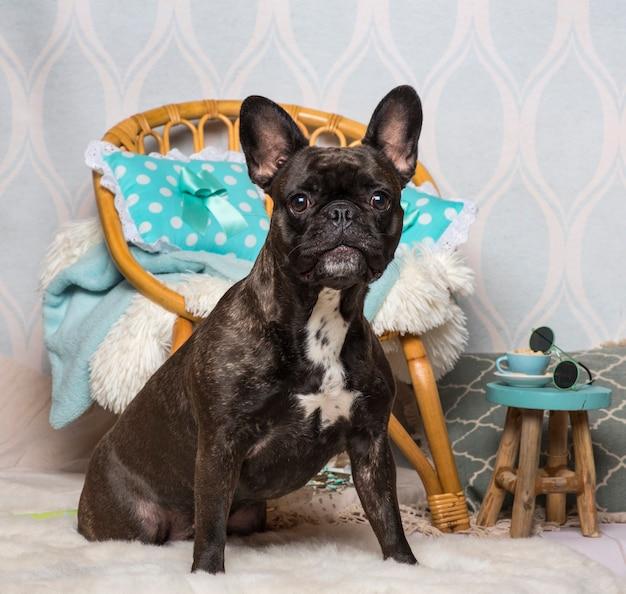 Bulldog francese seduto nella stanza domestica, ritratto