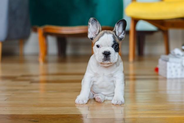 Bulldog francese seduto sul pavimento della casa