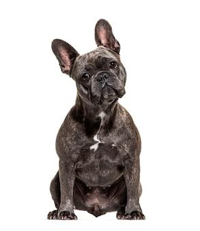 Bulldog francese seduto e guardando la telecamera, isolato su bianco