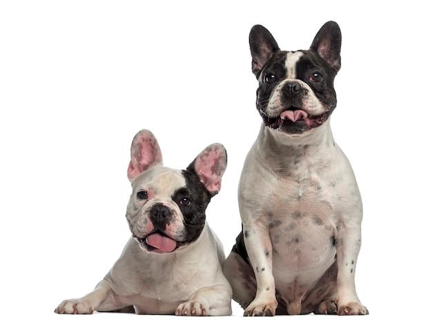 Bulldog francese seduti insieme