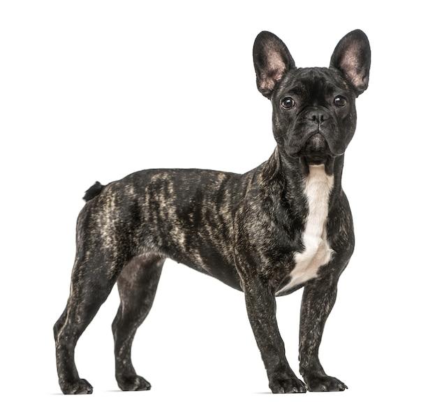 Condizione del bulldog francese, isolata su bianco