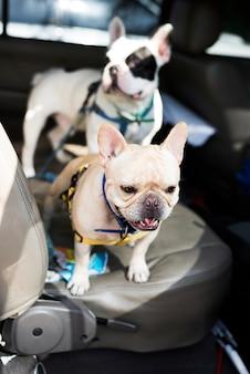 Bulldog francese in attesa in macchina