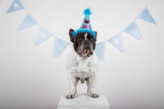 Bulldog francese con cappello compleanno su uno sfondo bianco