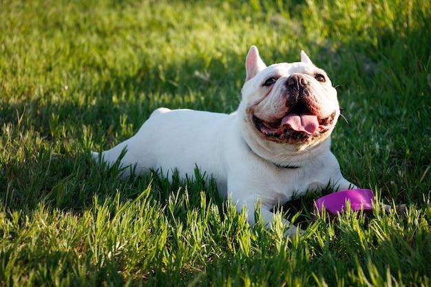 Il bulldog francese con i fronti di smiley si corica sull'erba. ritratto di cane felice